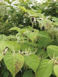 Nature-renouee-du-japon