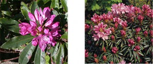Nature-rhododendron